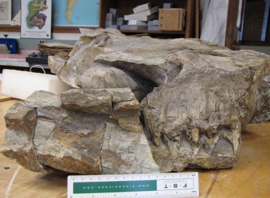 Thalattoarchon sở hữu một hộp sọ lớn