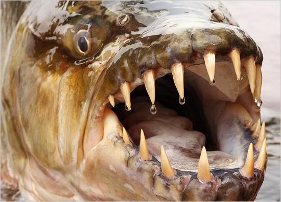 Với hàm răng sắc nhọn, chúng có khả năng cắn sâu, giật đứt những mảng thịt lớn