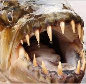 """Hãi hùng với """"quái vật nước ngọt"""" dưới lòng sông"""