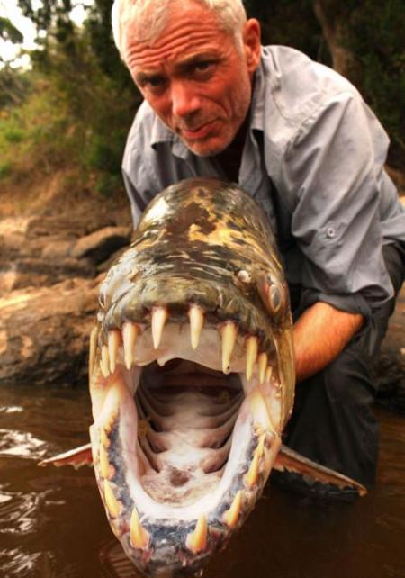 Cá hổ Tigerfish Goliath có bộ răng hình tam giác rất sắc  nhọn. Những chiếc răng đan cài vào nhau như lưỡi kéo.