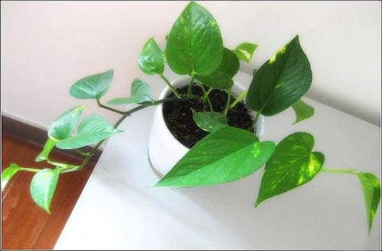 Hoàng Tâm Điệp là loại cây rất dễ trồng, có tác dụng giảm lượng ozone bên trong nhà, hút monoxide de carbonne rất hiệu quả (75%) và hút các chất khác như benzene, toluene, formalhelyde từ các máy móc thiết bị văn phòng.