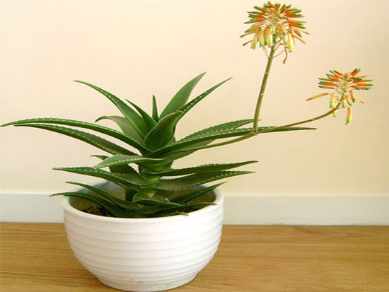 Cây Lô hội hay còn gọi là Nha đam, Long tu là một loài cây thuộc chi Lô hội, có nguồn gốc từ Bắc Phi. Bạn nên lựa chọn loại cây này để loại bỏ mùi hôi trong những ngôi nhà mới.