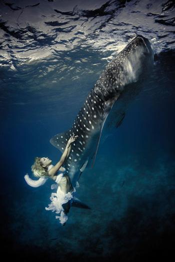 Cá mập voi không gây nguy hiểm cho con người. Thợ lặn có thể  bơi xung quanh loài cá khổng lồ này mà không gặp phải vấn đề gì.