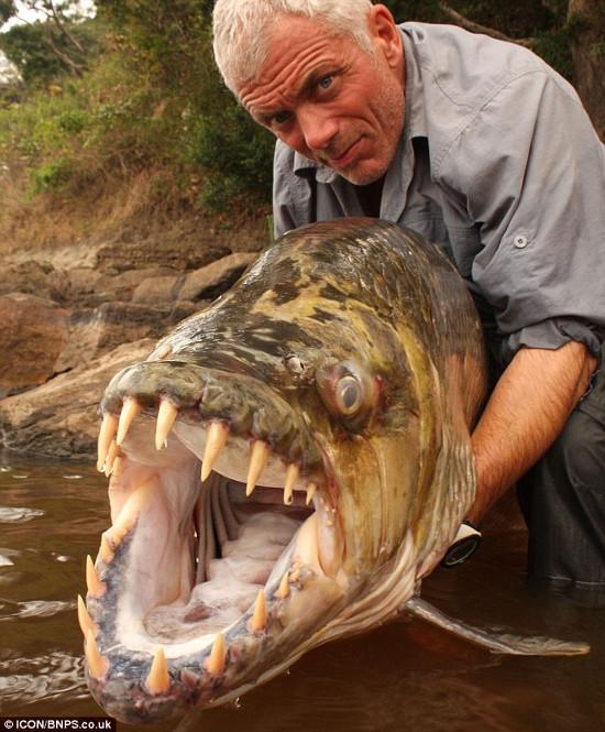 Cá hổ Congo