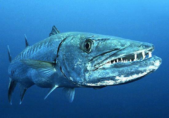 Cá nhồng châu âu