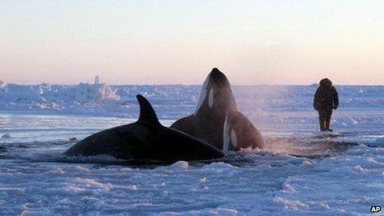 Giải cứu cá voi mắc kẹt