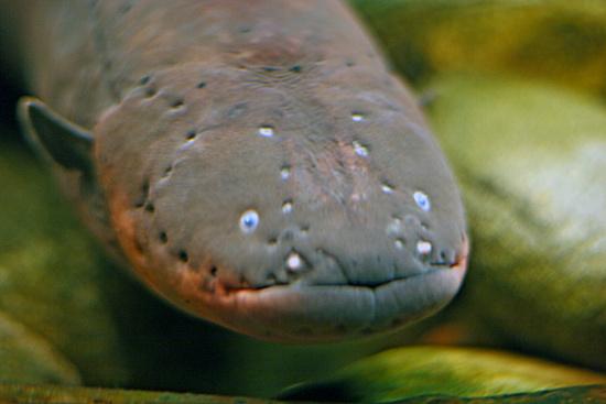 Lươn điện