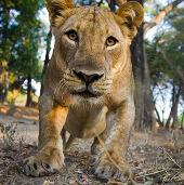 Zambia ban hành lệnh cấm săn bắn báo và sư tử