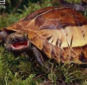 """3 loài rùa """"biến hình"""" lạ lùng nhất ở Việt Nam"""