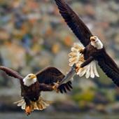 Ảnh đẹp: Đại bàng không chiến tranh cá cực độc
