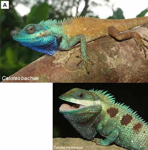 Thằn lằn Calotes có khả năng biến đổi màu sắc linh hoạt.