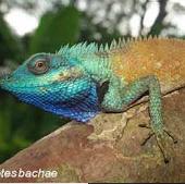 Phát hiện loài thằn lằn sặc sỡ mới ở Việt Nam