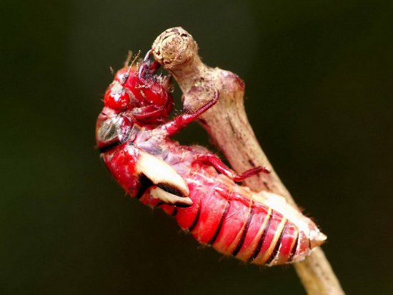 Đó là loài ve sầu bụng đỏ (Huechys sanguinea) sinh sống tại nhiều  vùng rừng của Việt Nam. Chúng có màu đỏ rực từ khi còn là ấu trùng.