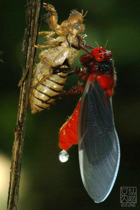 Dưới ánh sáng mặt trời, đôi cánh của ve sầu bụng đỏ chuyển dần từ màu trắng sang màu đen.