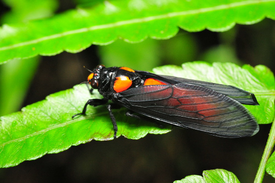 Khi trở nên cứng cáp hoàn toàn, cơ thể chú ve mang  màu sắc rất quý phái, với sự kết hợp hai màu đen đỏ.
