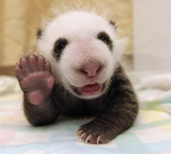 Chú gấu trúc 5 tuần tuổi mỉm cười.
