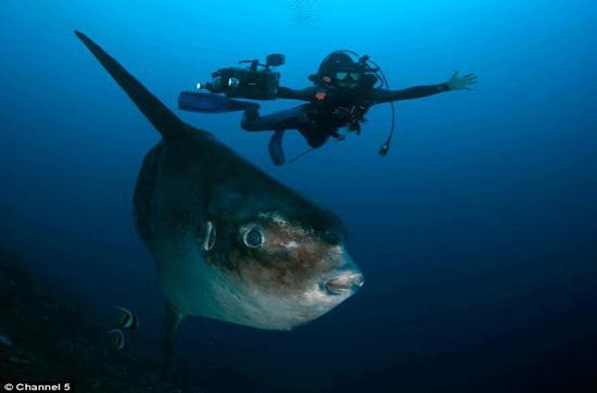Cá mặt trời có tên khoa học là Mola mola, thân ngắn, gần giống với hình trái xoan hay hình tròn, nhìn từ xa trông giống cái đầu to.