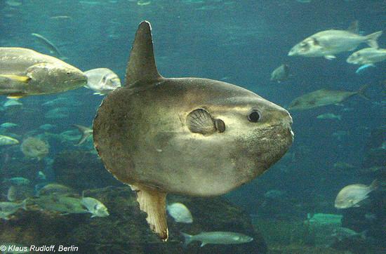 """Cá mặt trời khi còn nhỏ cũng bơi bình thường như những loại cá khác, cho đến khi trưởng thành chúng mới bắt đầu """"lười biếng"""" - chỉ thích trôi nghiêng theo các dòng hải lưu."""