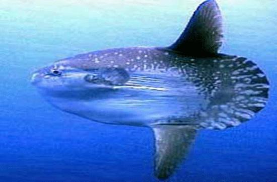 Cá mặt trời đực trưởng thành có chiều dài cơ thể trung bình khoảng 3,5m, cân nặng khoảng 1,7 tấn.