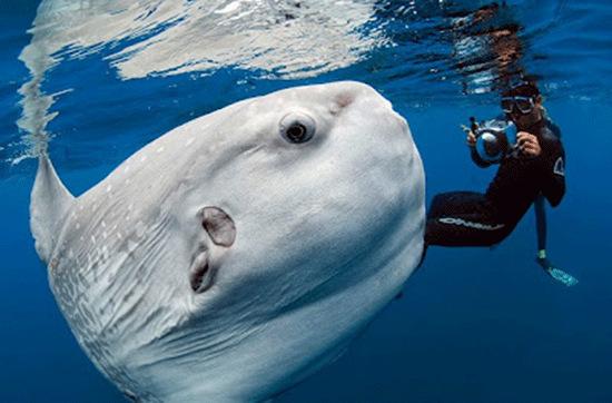 Vây lưng và vây hậu môn đều dài, cao và nằm gần cuối thân mình, vây ức thì nhỏ và tròn, vây đuôi chỉ là một dải hẹp, ít có tác dụng bơi lội.