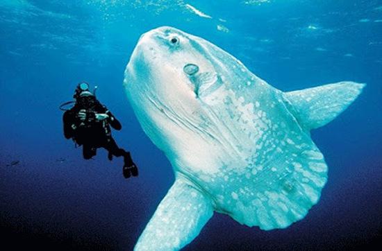 Hầu hết thời gian cá mặt trời để cho cả khối thân mình đồ sộ trôi tự do theo các dòng nước. Những con trưởng thành thích trôi nghiêng một bên.