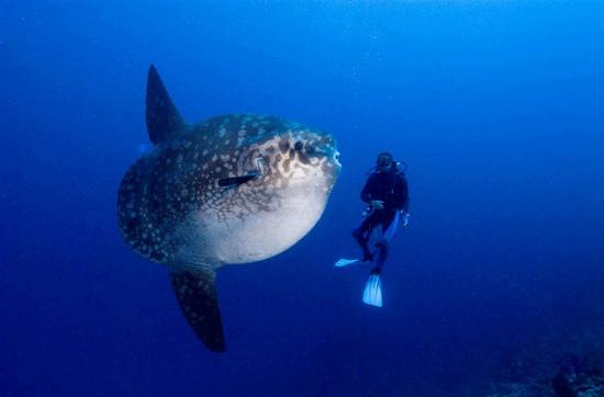 Cá mặt trời được coi là nhà vô địch trong thế giới đại dương về thành tích... đẻ trứng, một con mái có thể đẻ mỗi lần khoảng 300 triệu trứng. Trứng của loài cá này trôi lơ lửng theo các dòng hải lưu.