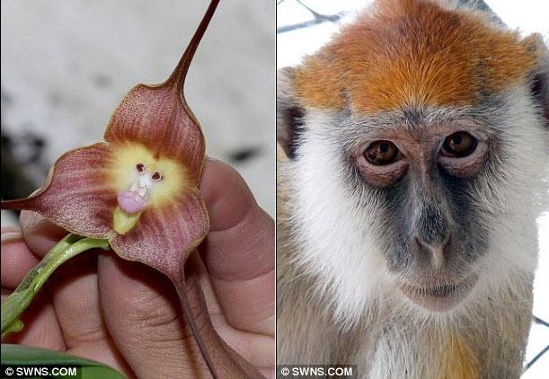 Hoa phong lan mặt khỉ thường sống trong các khu  rừng nhiệt đới trên độ cao 2.000 ở Peru và Ecuador