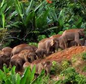 Voi Sumatra đối mặt nguy cơ tuyệt chủng gia tăng