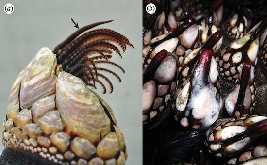 Ảnh (a) cho thấy dương vật ở trạng thái thư giãn (có dấu mũi tên) bên cạnh các chân dùng cho việc ăn uống của một con hàu Pollicipes polymerus. Trong ảnh (b), các con hàu đang thả tinh trùng vào nước lúc thủy triều thấp.