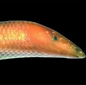 """Tìm thấy thằn lằn lai """"cá voi trắng"""" tại Madagascar"""