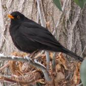 Chim biết đối phó với ô nhiễm tiếng ồn đô thị
