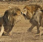 Video: Cận cảnh bầy sư tử đại chiến kinh hoàng
