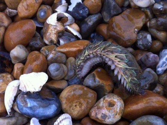 Chú chuột biển bị bão đánh dạt vào bờ biển Kent. Loài chuột biển này thường sống ở đáy đại dương nơi có độ sâu hơn 2000m.