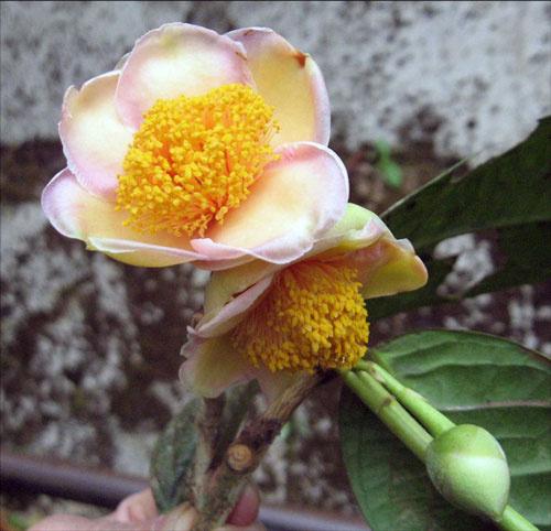 Trà mi màu hồng phấn đặc hữu, phân bố vùng Di Linh, Bảo Lâm