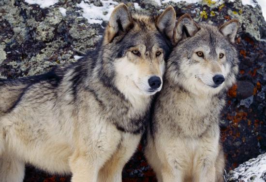 Chó và chó sói có bộ gene rất giống nhau