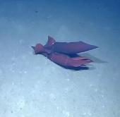 """Video: Bí mật """"phòng the"""" của loài mực biển"""