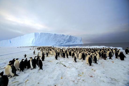 Quần thể chim cánh cụt hoàng đế vừa được phát hiện
