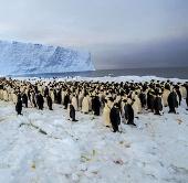 Tiếp cận 1 quần thể 9.000 chim cánh cụt hoàng đế