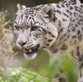 Nepal hạ được con báo đã ăn thịt cả chục người