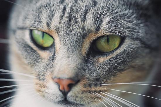 Loại mèo học theo thói quen của chủ rất nhanh.
