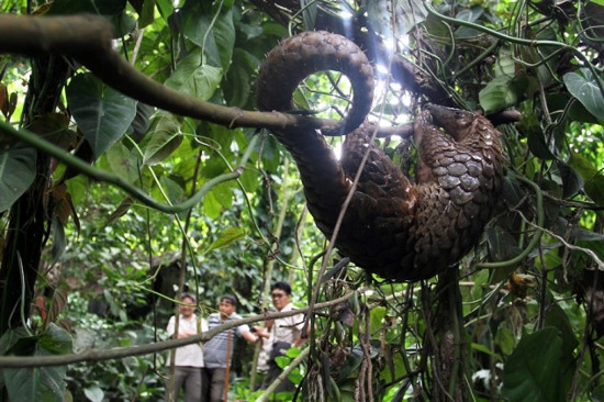 Một trong các con tê tê sau khi tịch thu được trả  về với thiên nhiên tại khu rừng ở Karo, Indonesia.