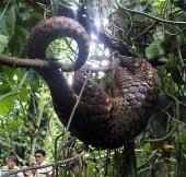 Tê tê đối mặt nguy cơ tuyệt chủng ngày càng gia tăng