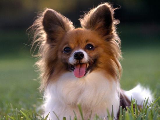 Trí thông minh của chó tương đương một đứa trẻ lên 2.