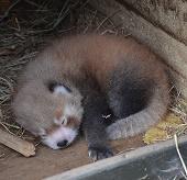 New Zealand mừng sự ra đời của 1 con gấu trúc đỏ