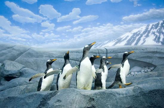 Chim cánh cụt Gentoo: Chim cánh cụt Gentoo cao gần 1m, xếp thứ 3 trong những loài chim cánh cụt to nhất trên thế giới. Chúng xây tổ từ những hòn đá tròn và trơn. Để tìm bạn đời, con đực thường đem tặng con cái món quà là những hòn đá như thế.