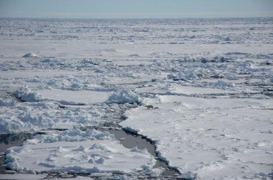 Gấu Bắc Cực: Một con gấu Bắc Cực con đang đi theo mẹ trên lớp băng dày.