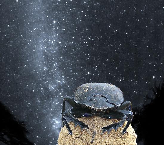 Ánh sáng từ dải Ngân Hà giúp bọ hung định hướng trong quá trình di chuyển.