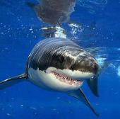 Video: Cá mập và sói biển đại chiến nảy lửa