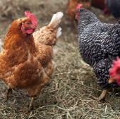 Khởi động lại các cuộc nghiên cứu về H5N1