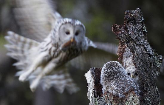 Chim cú Ural bắt chuột về cho chim con trên một hốc cây ở Kuusamo, Phần Lan.